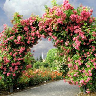 Ramblerrosen einmalblühend