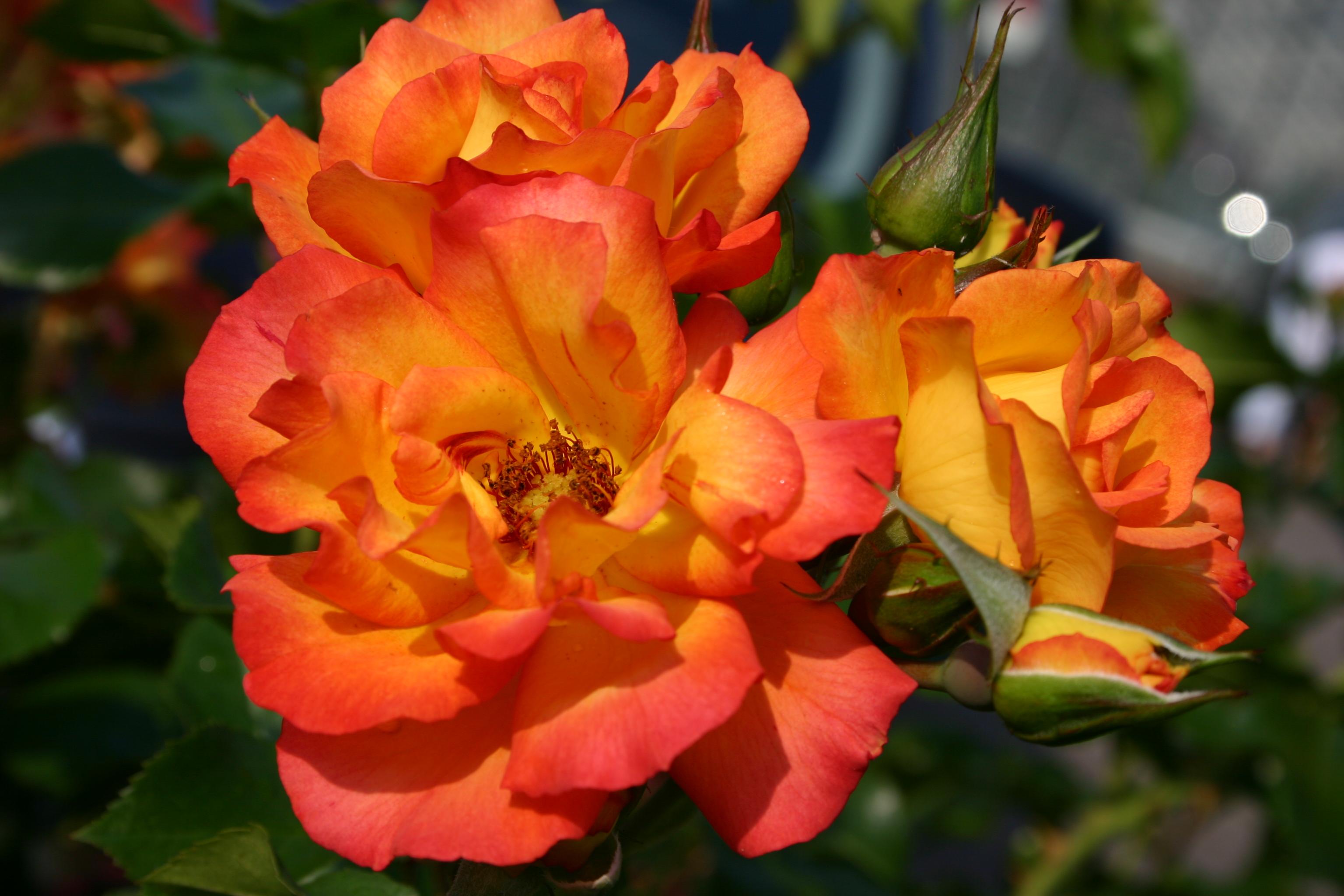 Роза бонанза фото отзывы
